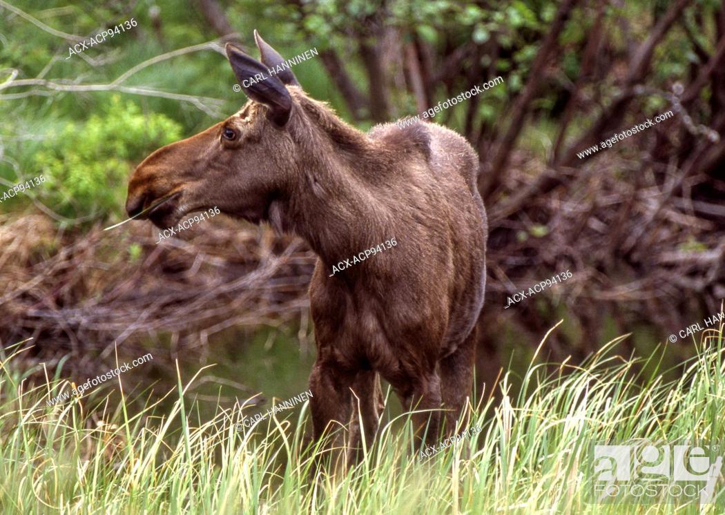 Stock Photo: Cow moose (Alces alces), Gogama, Ontario, Canada.