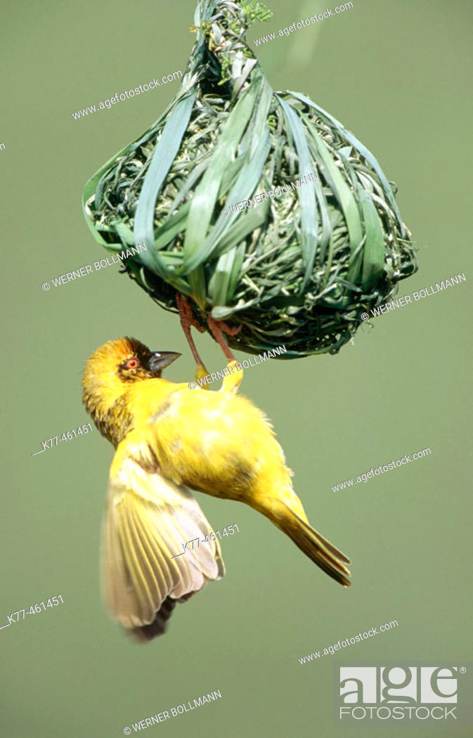 Stock Photo: Vitelline-masked Weaver (Ploceus vitellinus), male, at nest. Lake Bogoria, Kenya.