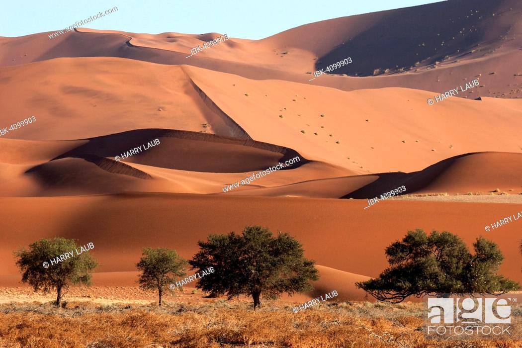 Stock Photo: Sand dunes, Camel thorn trees (Vachellia erioloba) at the front, Sossusvlei, Namib Desert, Namib-Naukluft National Park, Namibia.