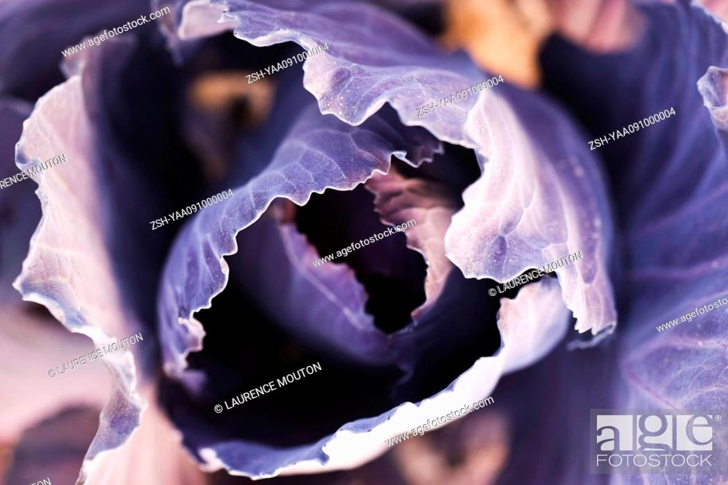 Stock Photo: Purple cabbage, extreme close-up.