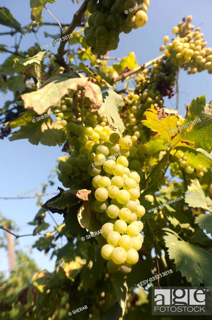 Imagen: grapes, wine, agricoltura, fruit, viticulture.
