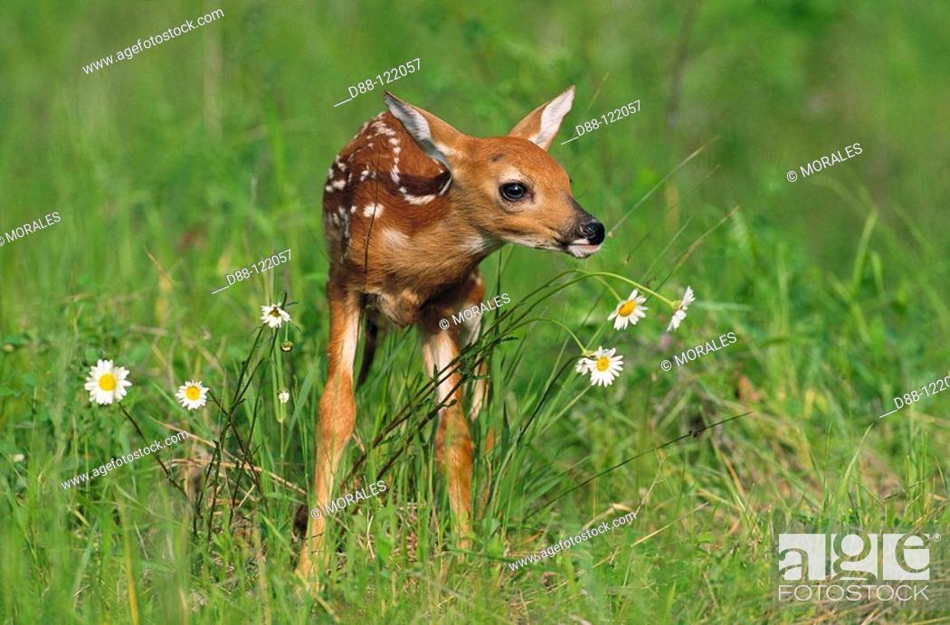Stock Photo: White-tailed Deer (Odocoileus virginianus), fawn.