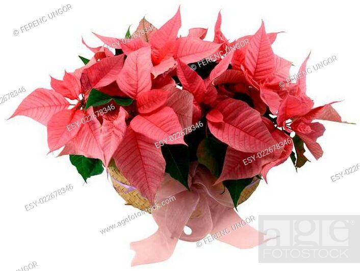 Stock Photo: Poinsettia.