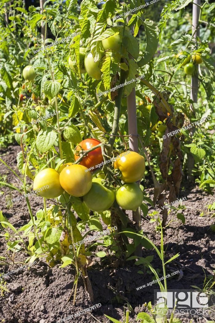 Stock Photo: Lycopersicon esculentum - Tomato plant in organic garden.