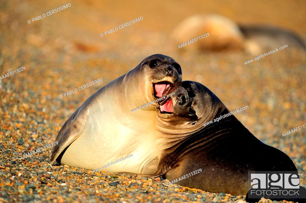 Stock Photo: Seal, Southern Elephant Seal, Mirounga Leonina, pups playing, Peninsula Valdes, Patagonia, Argentina, South America, South Atlantic.