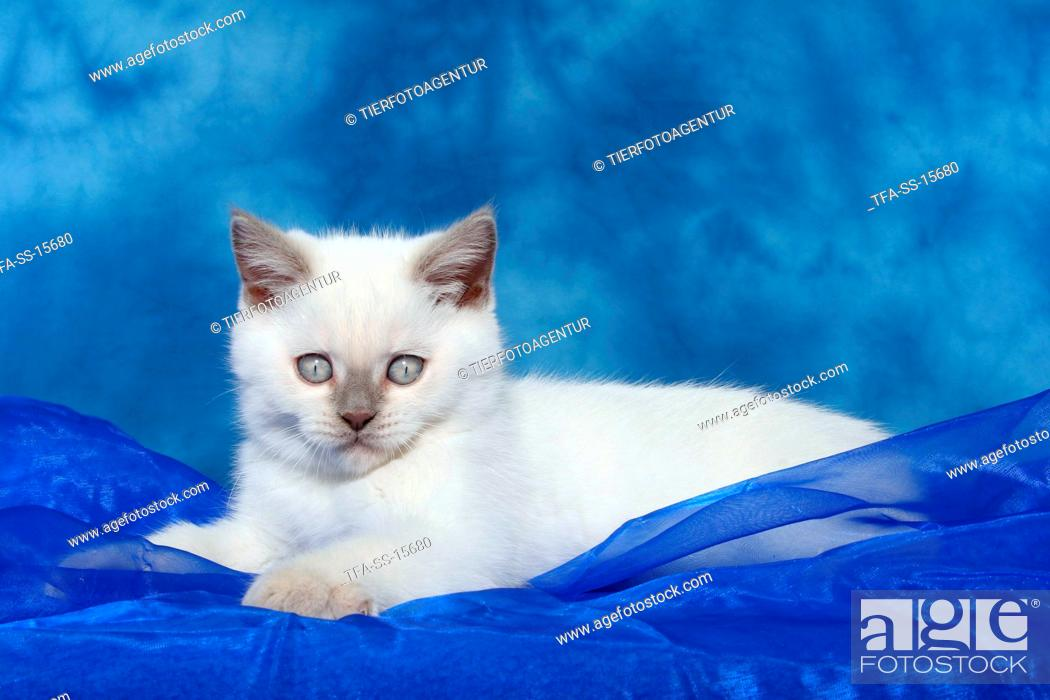 Stock Photo: lying british shorthair kitten.