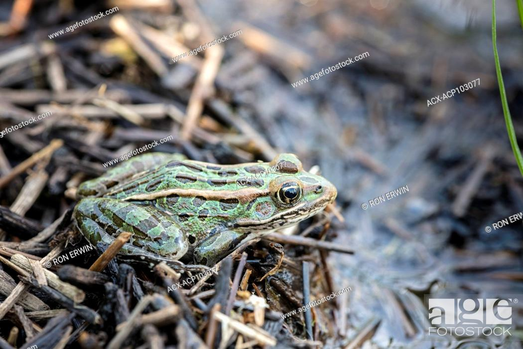 Stock Photo: Northern Leopard Frog (Lithobates pipiens), Barrie Island, Manitoulin Island, Ontario, Canada.