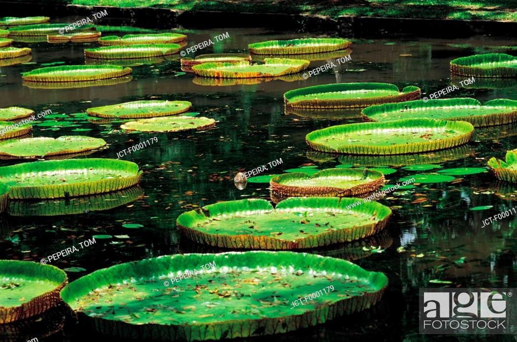 Stock Photo: Mauritius, Pamplemousse gardens, giant waterlilies.