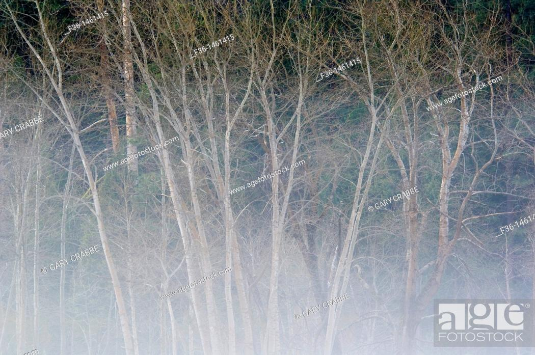 Stock Photo: Aspen trees in Spring and morning mist fog in meadow, Yosemite Valley, Yosemite National Park, California.