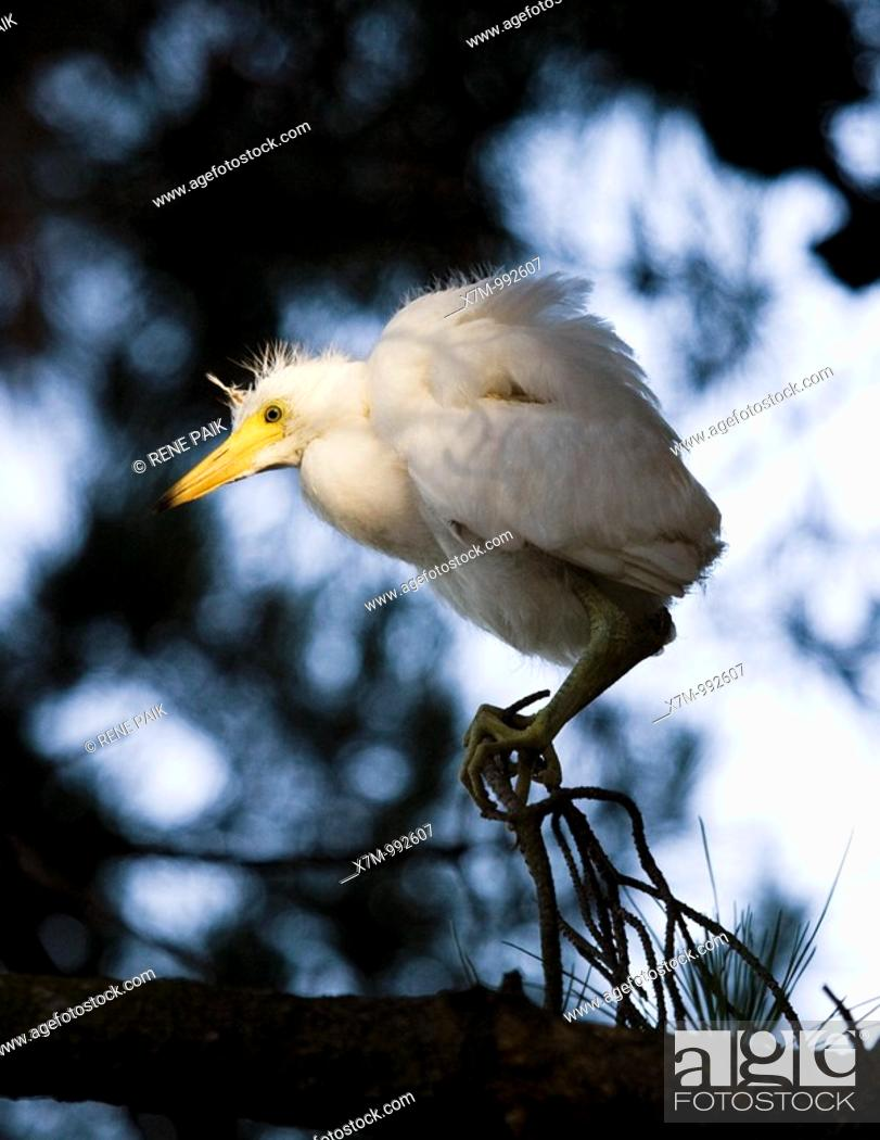 Stock Photo: Portrait of a snowy egret Egretta thula chick looking for its nest and waiting to be rescued by its parent  The artificial estuaries and lagoons in the suburbs.