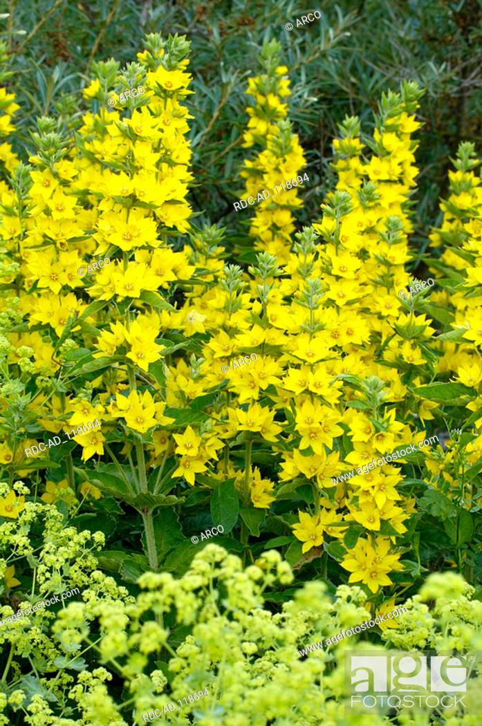 Yellow Loosestrife Lysimachia vulgaris, Stock Photo, Picture