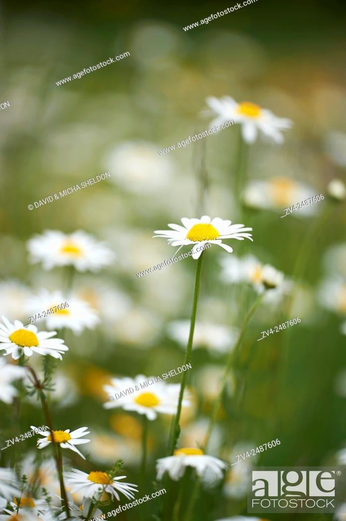 Stock Photo: Close-up of a flower meadow with ox-eye daisy (Leucanthemum vulgare) blossoms in early summer.