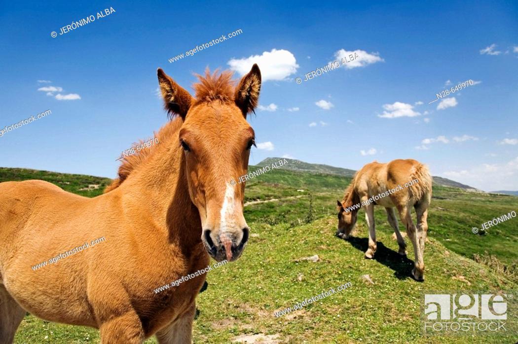 Stock Photo: Horses, Estacas de Trueba pass, Cantabria, Spain.