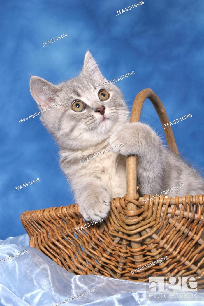 Stock Photo: british shorthair kitten in basket.