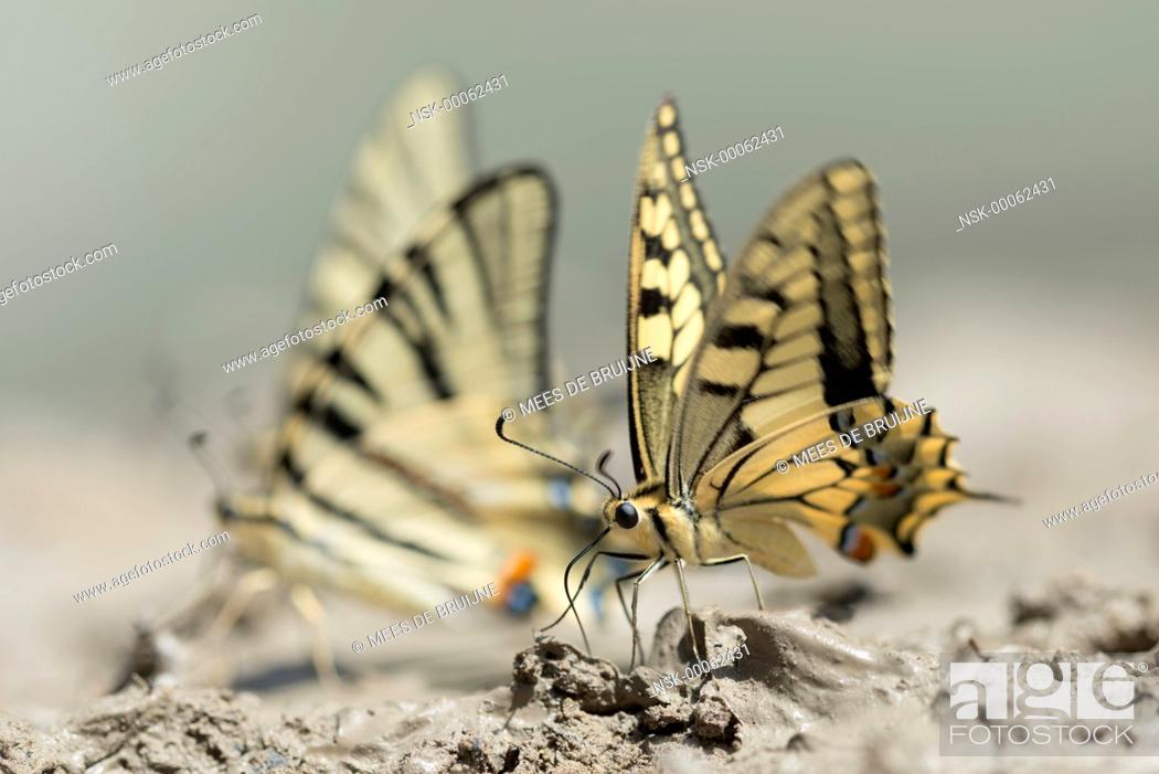 Stock Photo: Pear-tree Swallowtail (iphiclides podalirius) foraging, France, Rhone-Alpes, Parc Naturel Regional du Vercors.