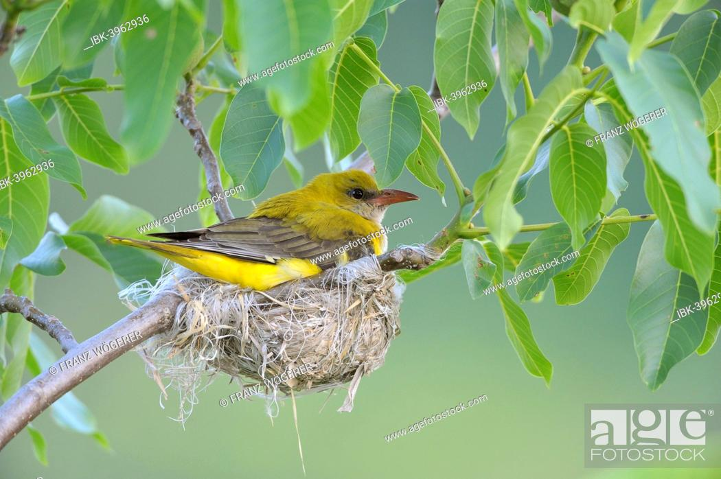 Stock Photo: Golden Oriole (Oriolus oriolus), adult female incubating eggs in the nest, in a walnut tree, Bulgaria.