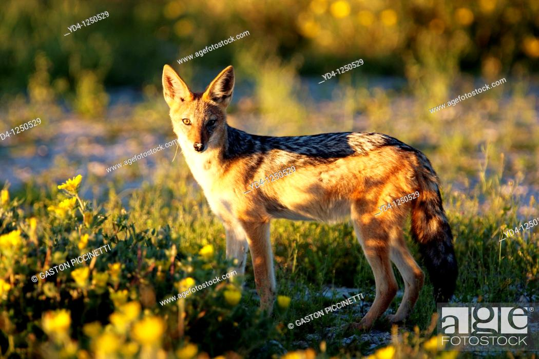 Stock Photo: Black-backed jackal Canis mesomelas, Etosha National Park, Namibia.