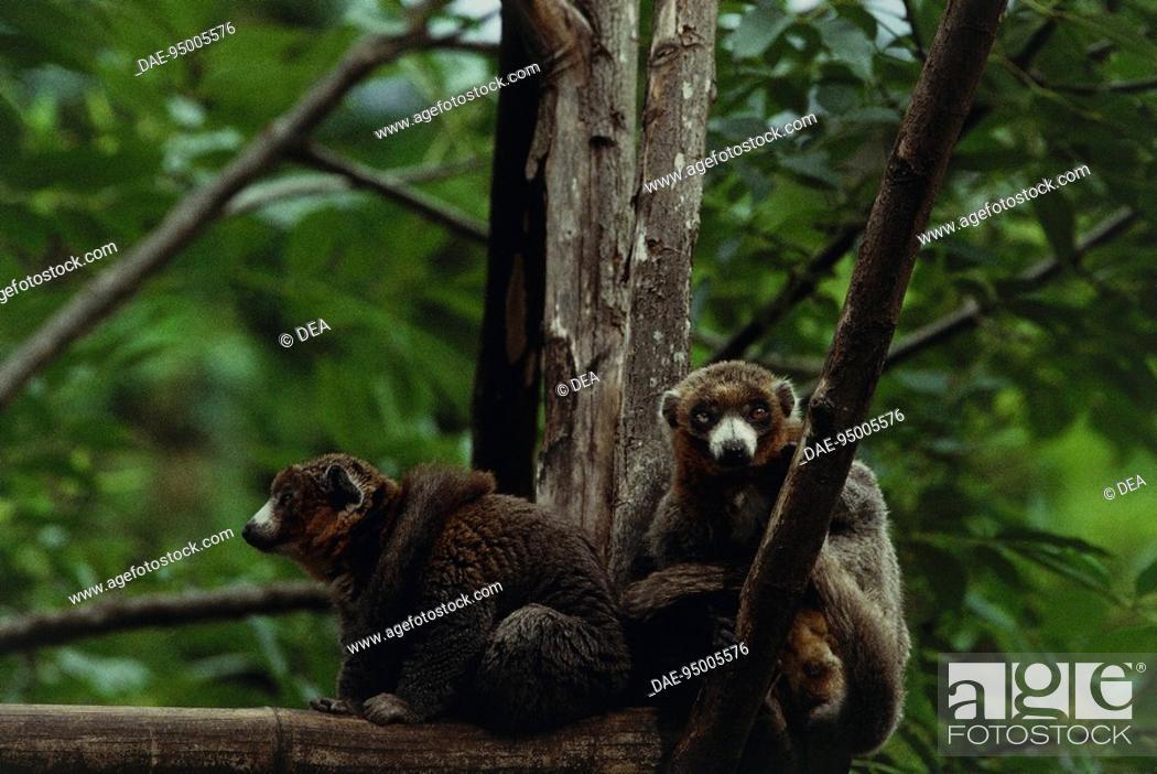 Stock Photo: Zoology - Primates - Lemurs. Brown lemur (Eulemur fulvus fulvus).