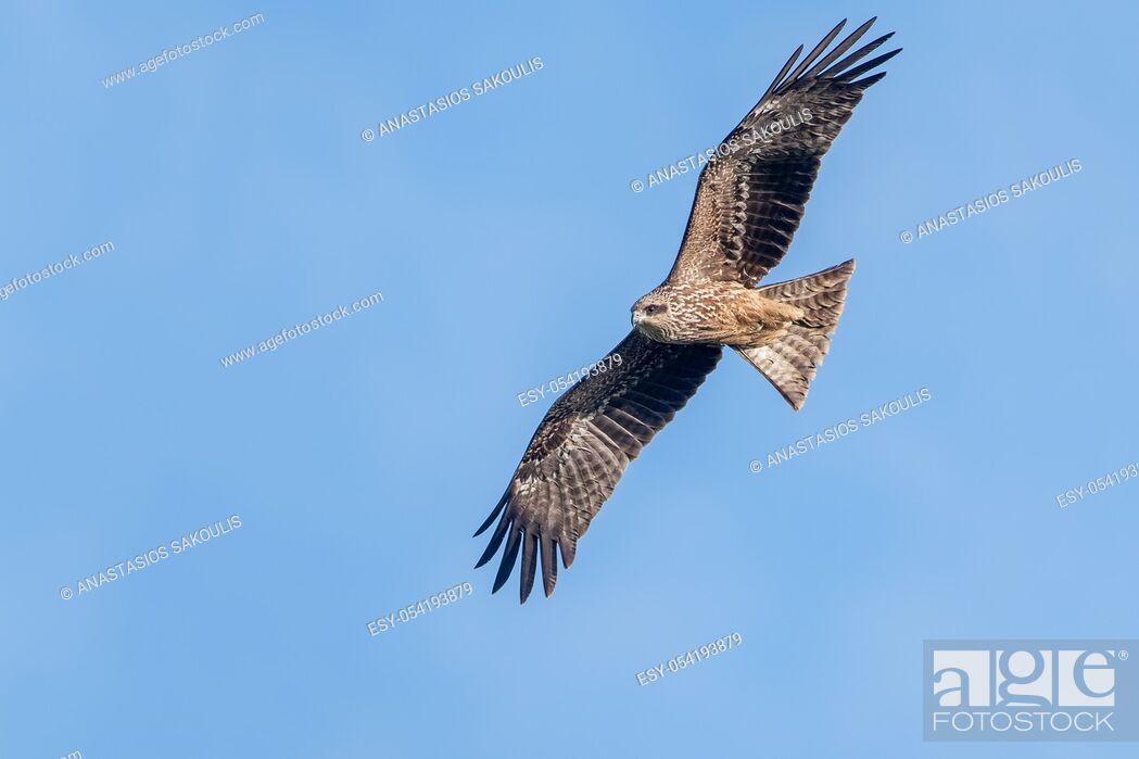 Stock Photo: Milvus migrans (Black Kite), Crete.