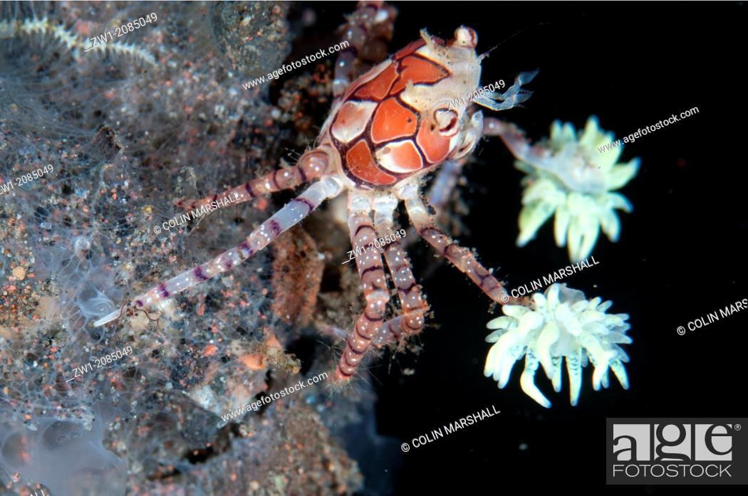 Stock Photo: Pom-pom Crab (Lybia tesselata) with anemones on legs for protection on hard coral at Seraya in Bali in Indonesia.