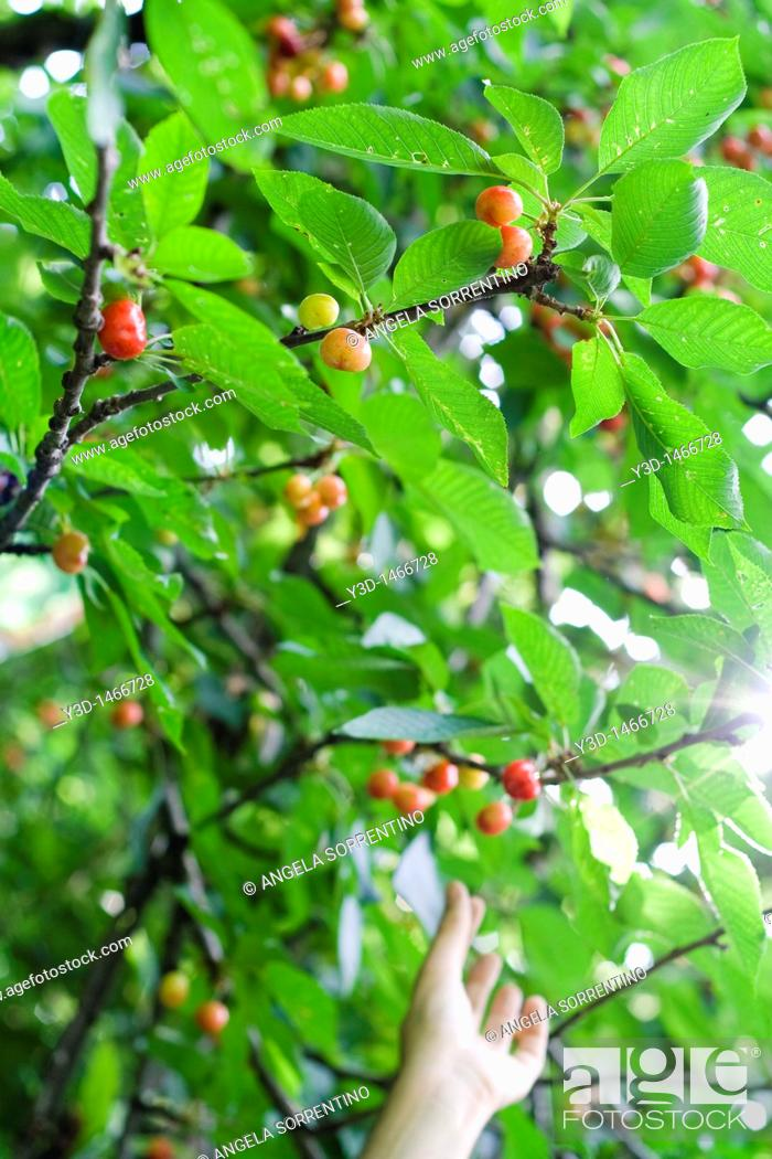 Imagen: Cherries on tree, hand picking a cherry in background.