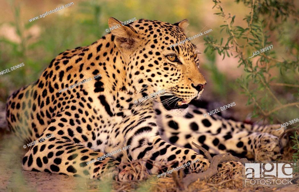 Stock Photo: Leopard (Panthera pardus), Kgalagadi Transfrontier Park (formerly Kalahari-Gemsbok National Park), South Africa.