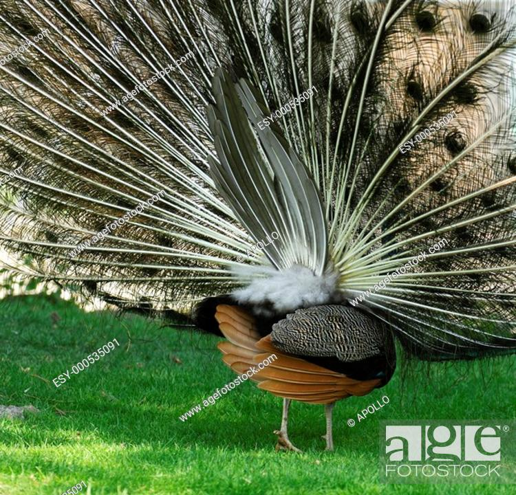 Stock Photo: Displaying Indian peacock, Pavo cristatus, from behind, showing the actual tail.