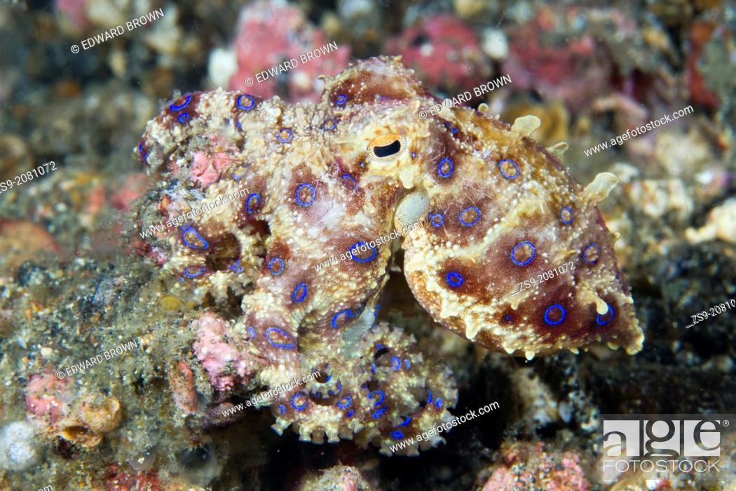 Stock Photo: Blue ringed octopus - Hapalochlaena sp. Lembeh Strait, Sulawesi, Indonesia.