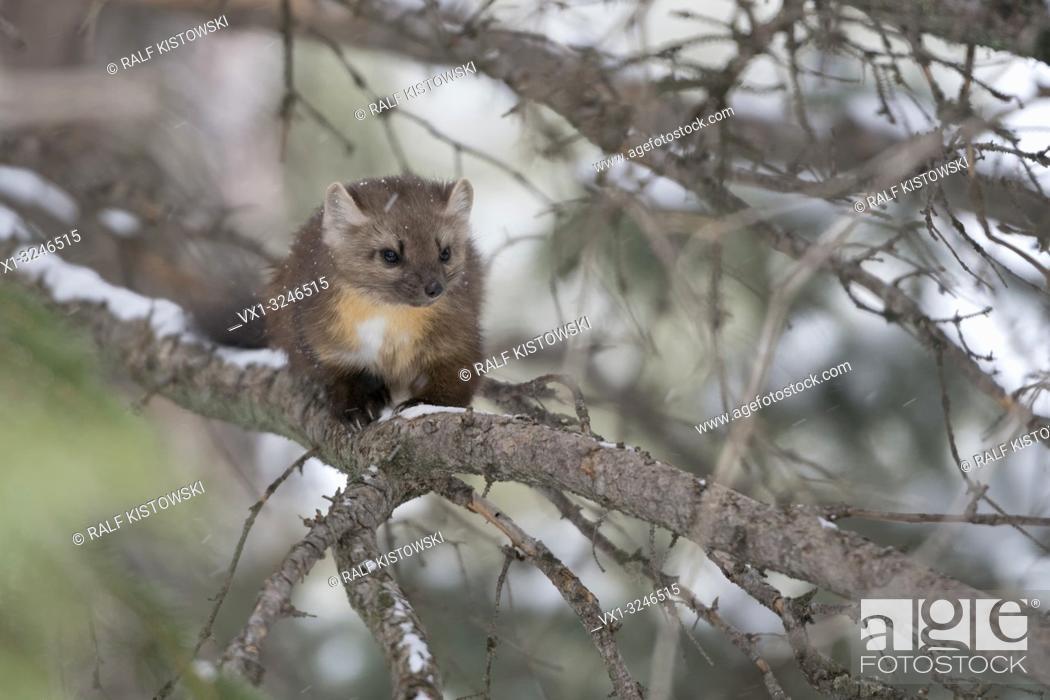 Stock Photo: Pine Marten (Martes americana), sitting in a tree, watching, nice winter fur, Yellowstone NP, USA. .