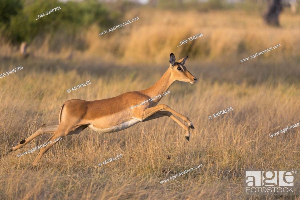 Imagen: Africa, Southern Africa, Bostwana, Moremi National Park, Impala (Aepyceros melampus), adult female.