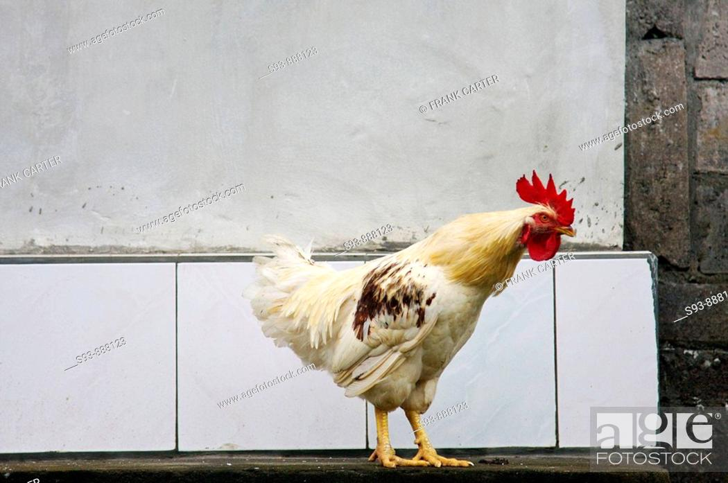 Stock Photo: A chicken infront of a white wall in Ubud, Bali.