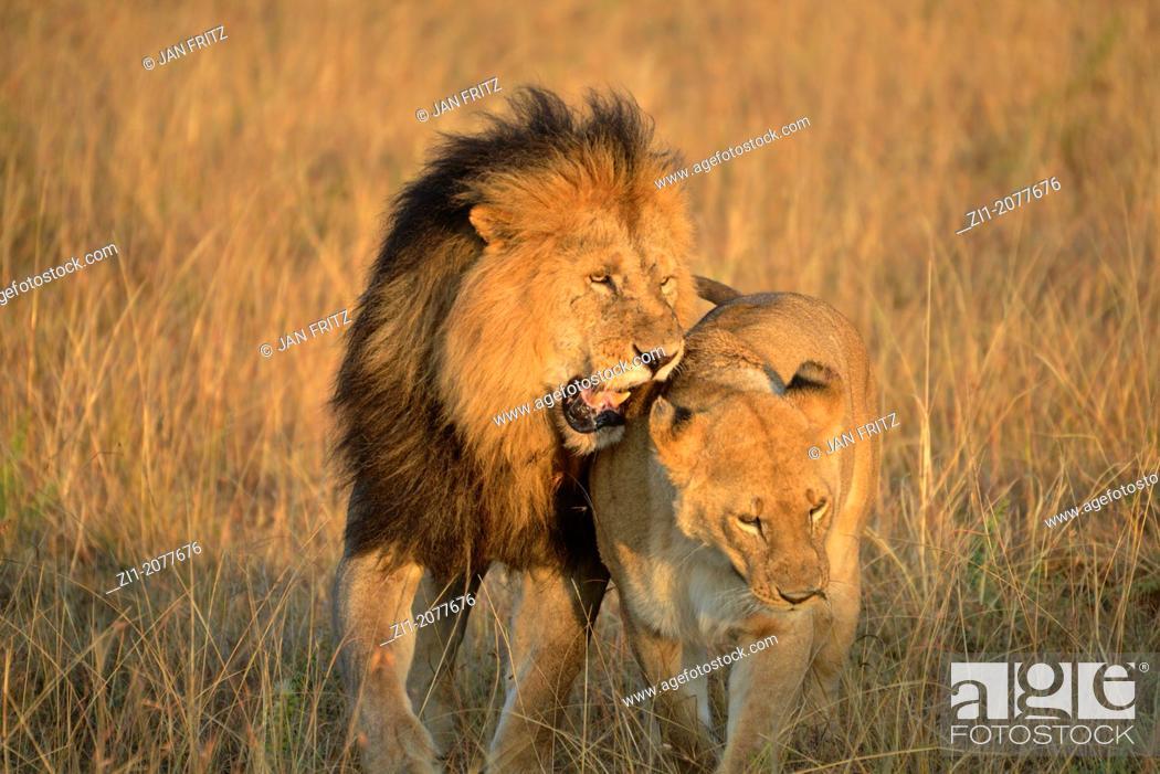 Imagen: lion and lioness in Masai Mara, Kenia.