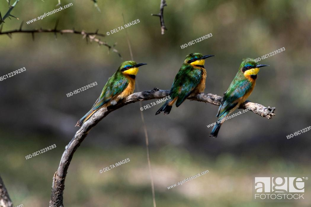 Stock Photo: Three little bee-eaters (Merops pusillus) sitting on branch, Ndutu, Ngorongoro Conservation Area, Serengeti, Tanzania.