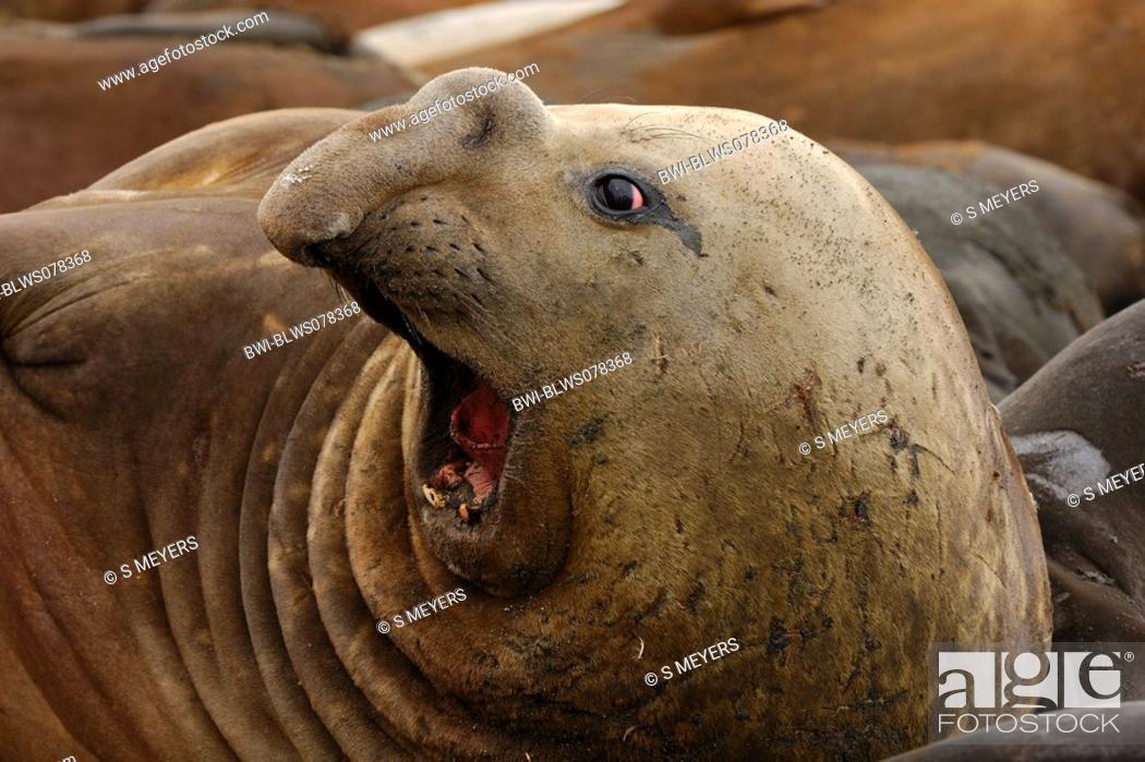 Stock Photo: southern elephant seal Mirounga leonina, yelling female, Antarctica, Suedgeorgien.