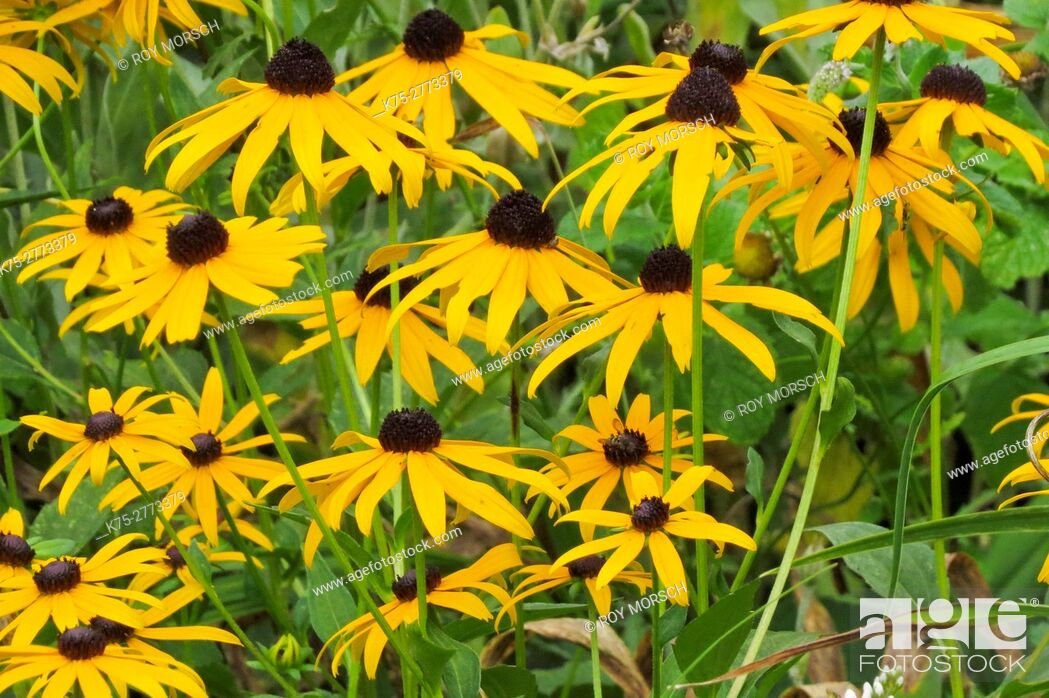 Imagen: black-eyed susan, rudbeckia.