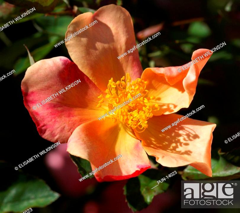 Stock Photo: Fragrant single rose starting as yellow, changing into pink then finally crimson.