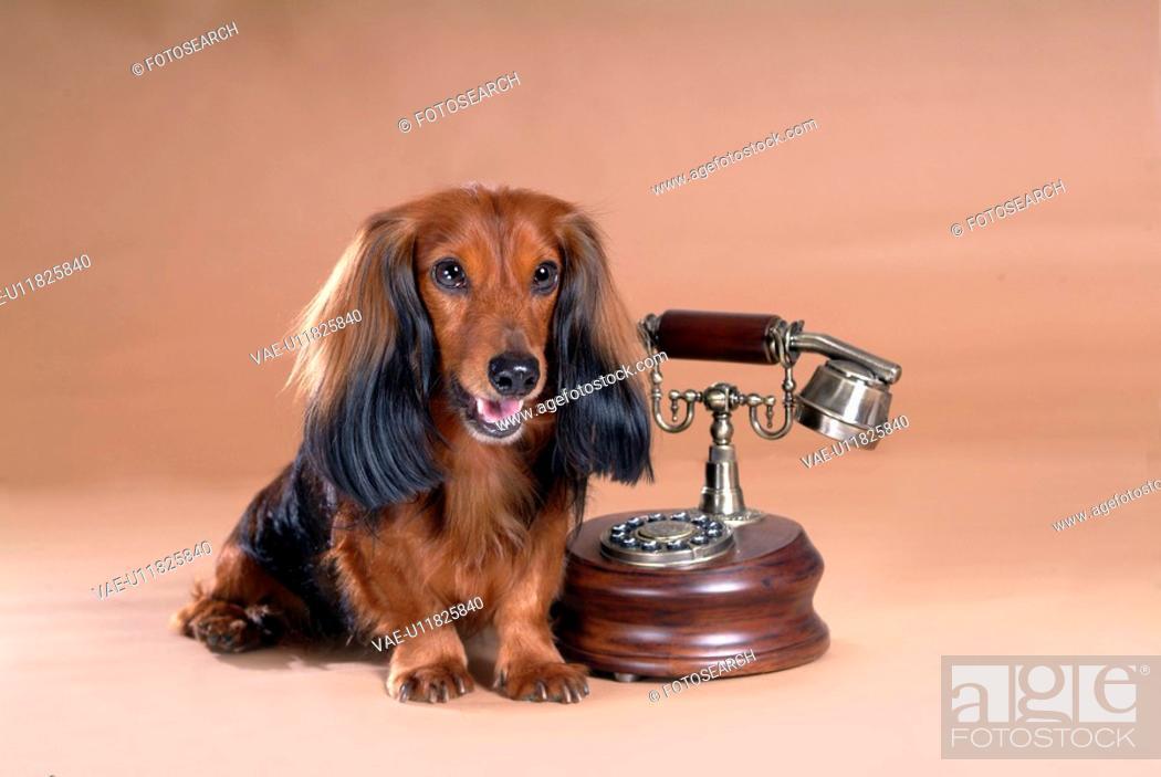 Stock Photo: looking away, telephone, domestic animal, antique telephone, classical telephone, dachshund.