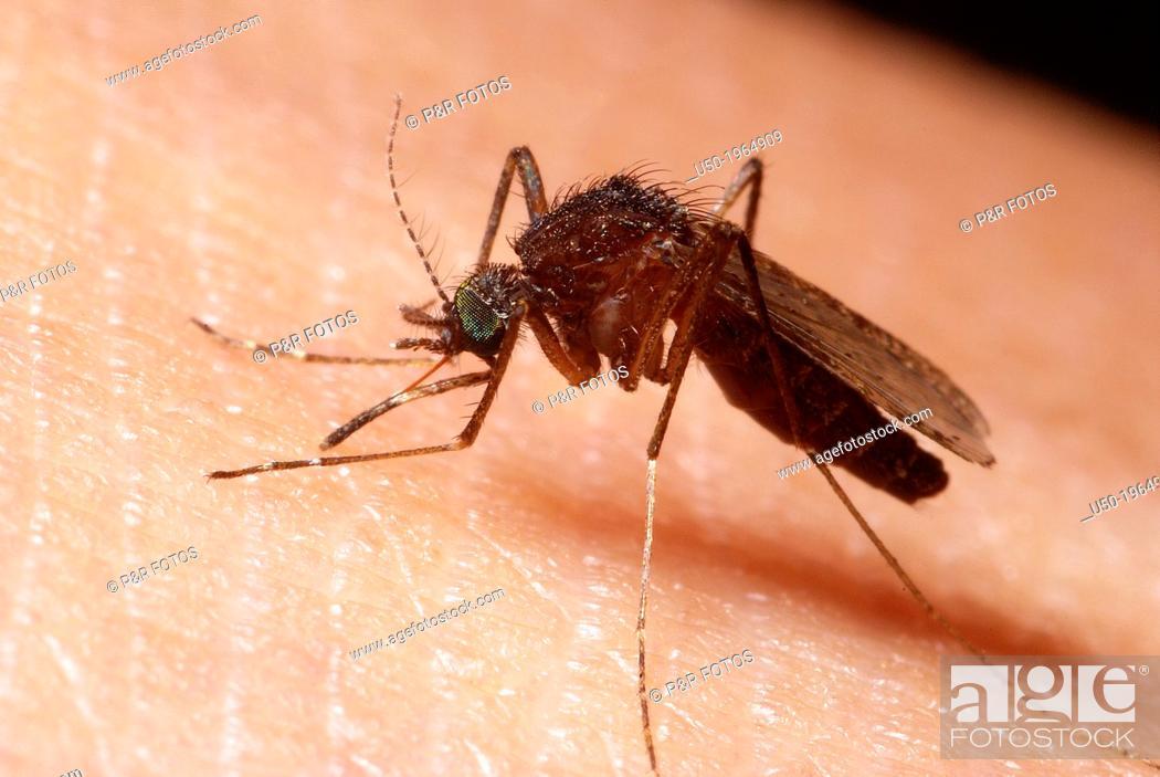Stock Photo: Mosquito sucking blood. Culex sp., Culicidae, Diptera.