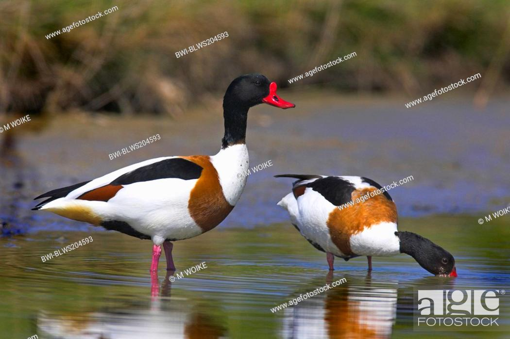 Stock Photo: common shelduck Tadorna tadorna, couple, Netherlands, Texel.
