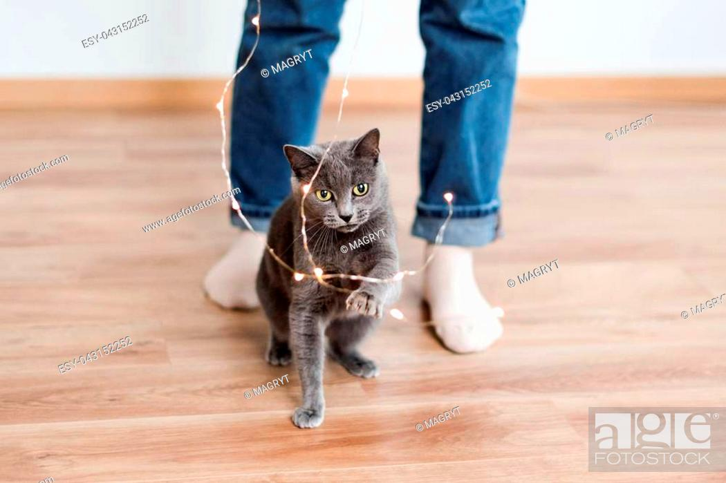 Stock Photo: Funny cat playing with garland. Russian blue cat with Christmas lights, selective focus.
