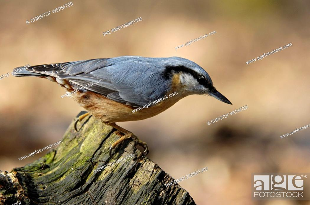 Stock Photo: Eurasian nuthatch, Sitta europaea.