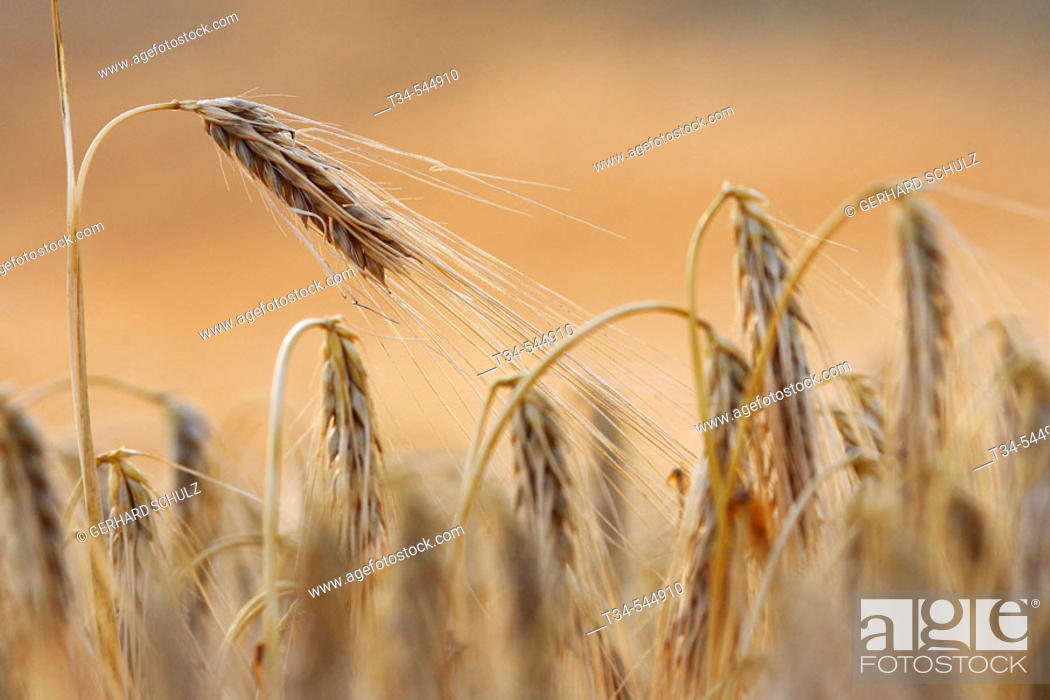 Stock Photo: Two-Rowed Barley (Hordeum distichon). Schleswig-Holstein. Germany.