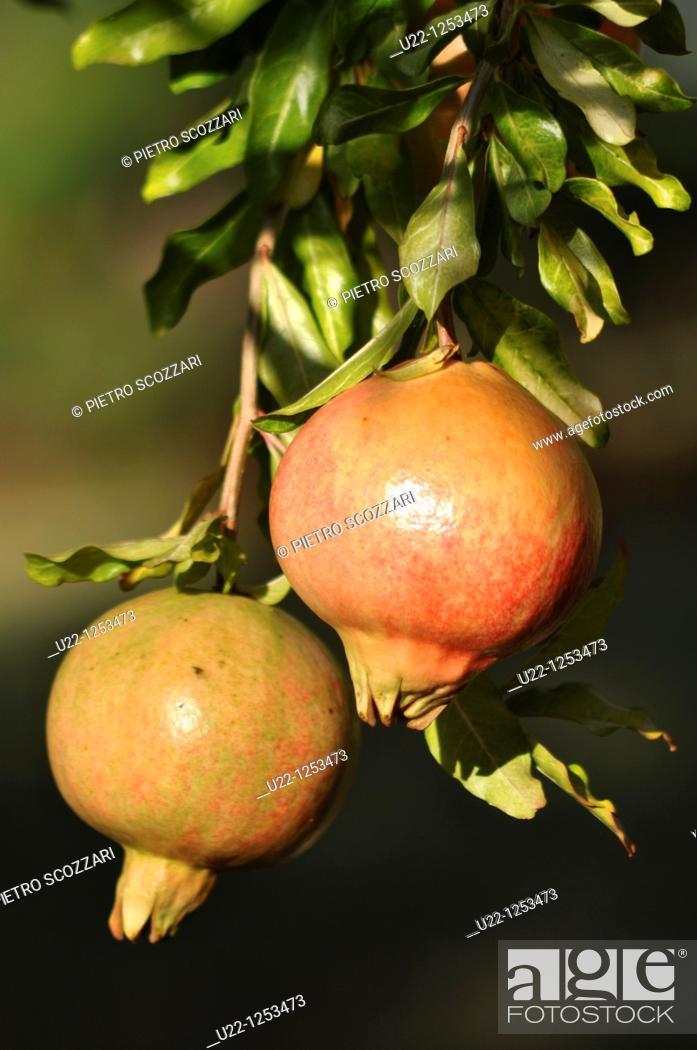 Stock Photo: Verucchio (Italy), pomegranates.