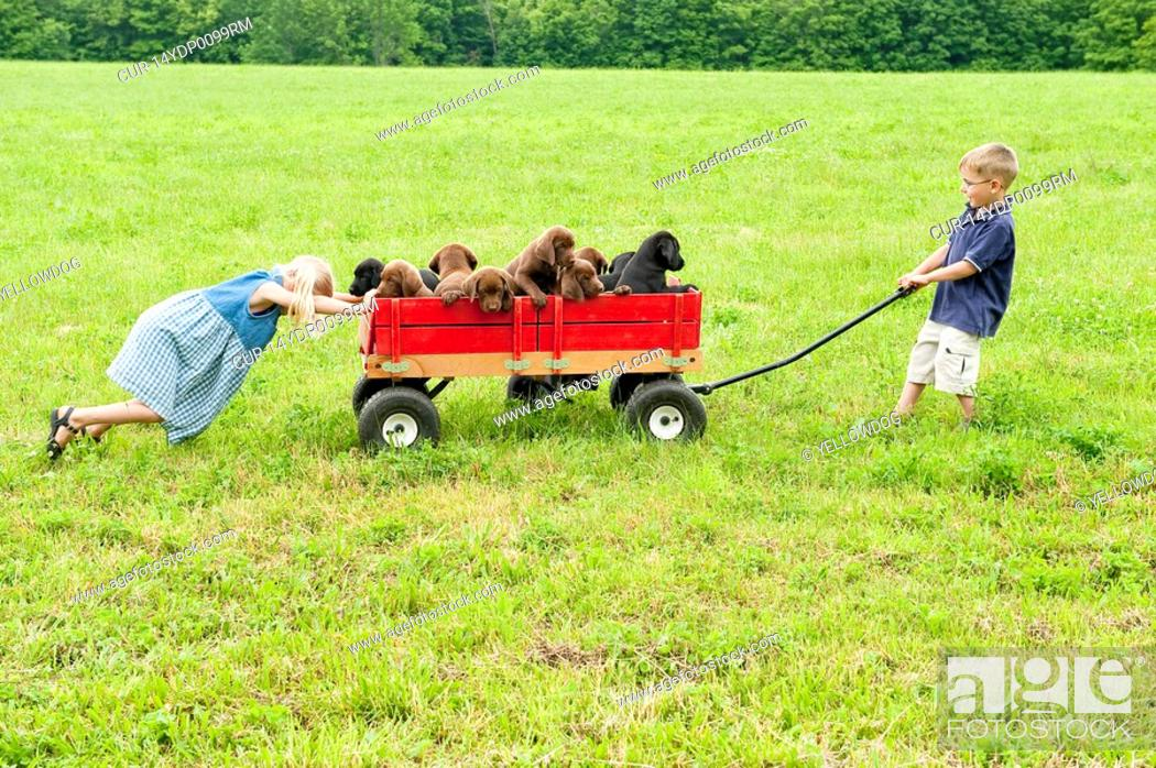Stock Photo: young siblings playing in a field with their 8 week old labrador retriever puppies.