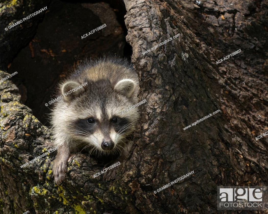 Imagen: Young raccoon, Procyon lotor, in hollow stump, Montana, USA.