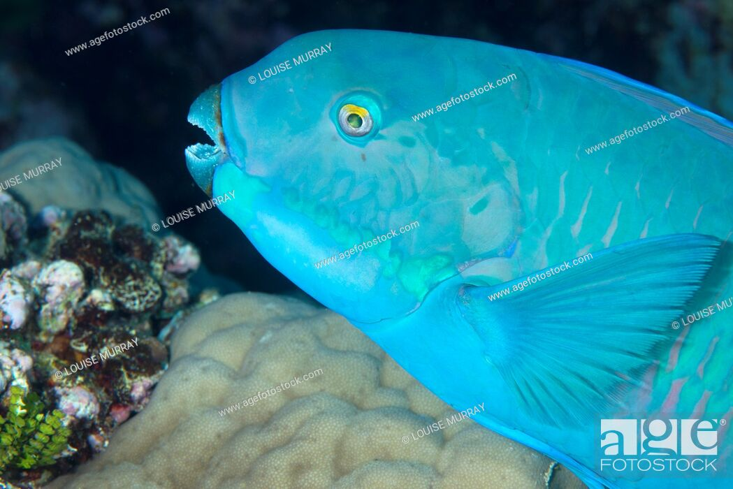 Stock Photo: Indian steephead parrotfish, Scarus strongycephalus, beak open feeding.