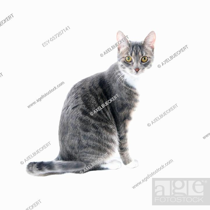 Silver Grey Tabby Cat With White Chest And Paws Isolated On White Background Stock Photo Picture And Low Budget Royalty Free Image Pic Esy 037207141 Agefotostock
