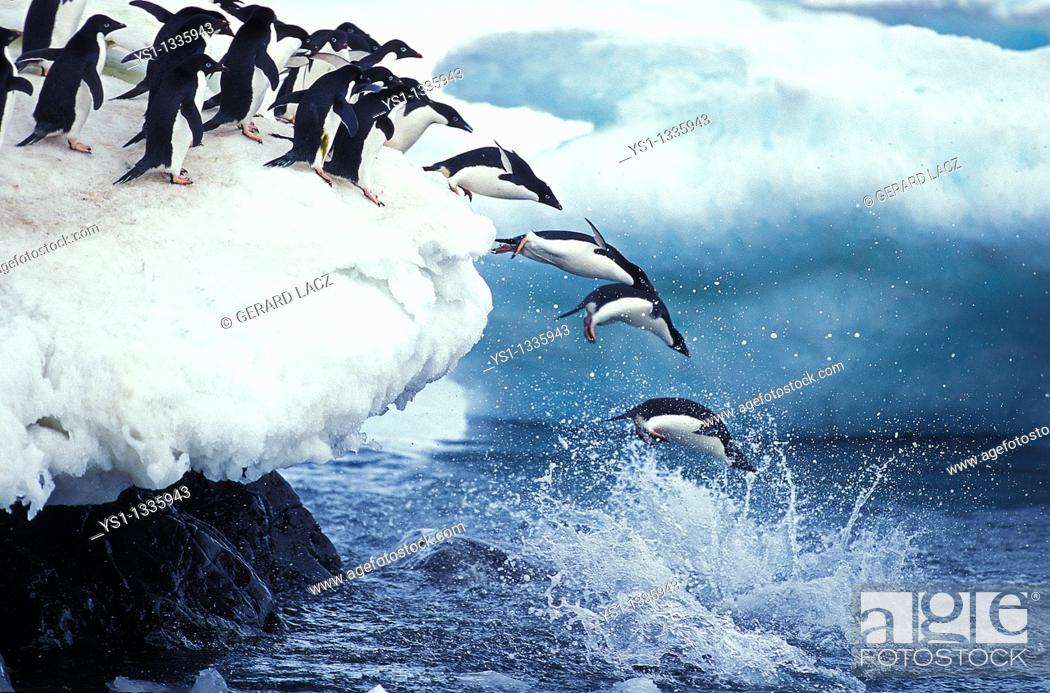 Stock Photo: ADELIE PENGUIN pygoscelis adeliae, COLONY ON PAULET ISLAND, GROUP LEAPING INTO OCEAN, ANTARTICA.