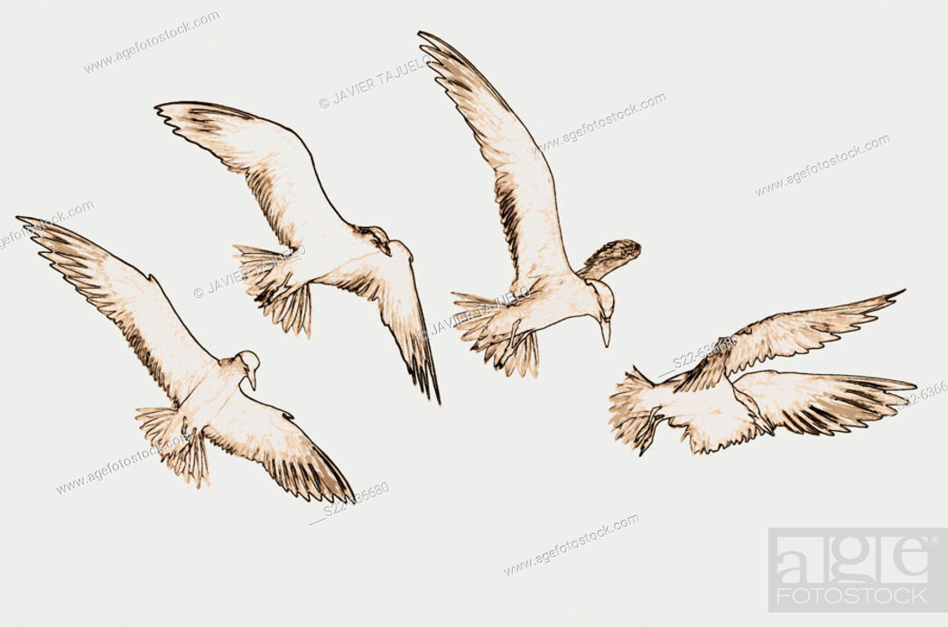 Stock Photo: Gull-billed Tern (Sterna nilotica), sequence of the bird flying.