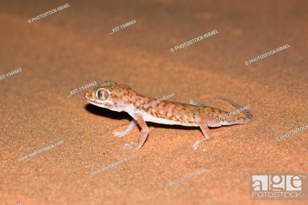 Stock Photo: The Stenodactylus petrii or dune gecko or 'frog-eyed' gecko  is a small, mostly nocturnal dwarf gecko of the genus Stenodactylus  They are found across northern.